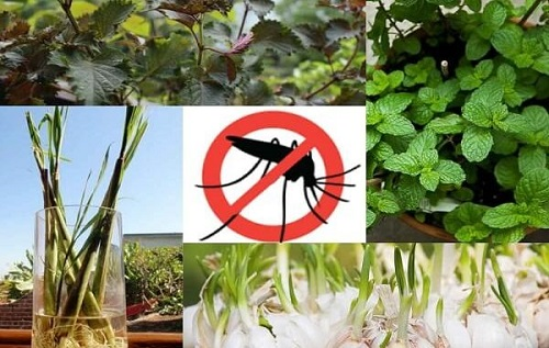 cách đuổi muỗi tự nhiên